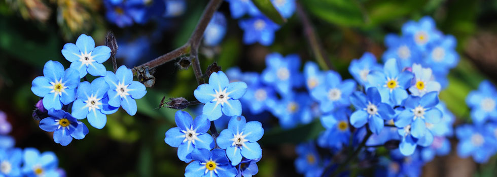 Image of forget-me-nots